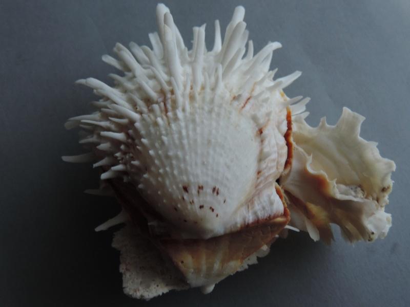 Spondylus echinatus - Schreibers, 1793 Dscn7535