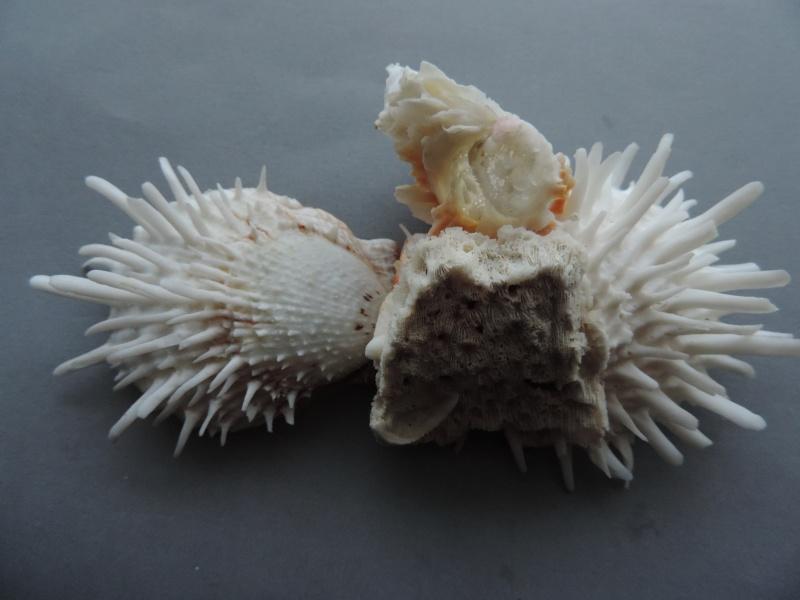 Spondylus echinatus - Schreibers, 1793 Dscn7536
