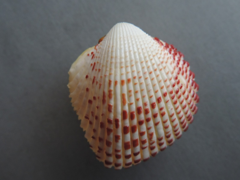Fragum unedo - (Linnaeus, 1758)  Dscn7541