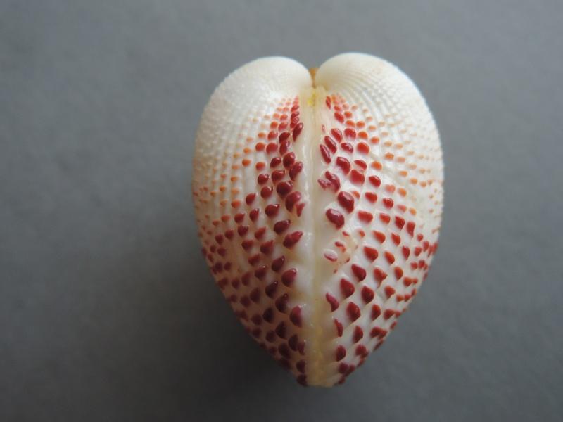 Fragum unedo - (Linnaeus, 1758)  Dscn7542