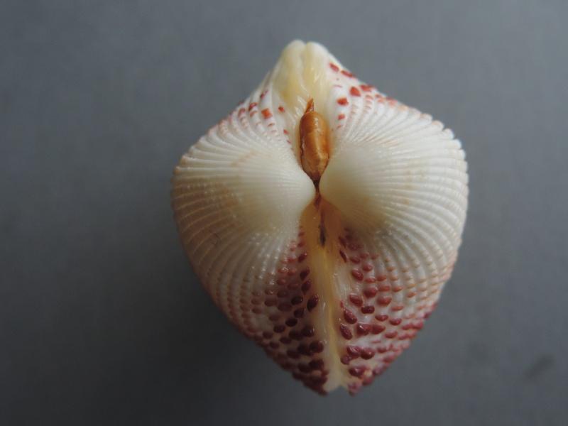 Fragum unedo - (Linnaeus, 1758)  Dscn7543