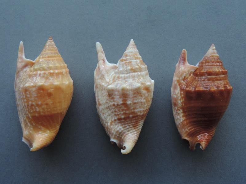 Euprotomus bulla - (Röding, 1798) Dscn7544