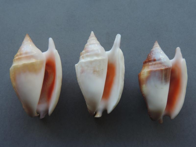 Euprotomus bulla - (Röding, 1798) Dscn7545