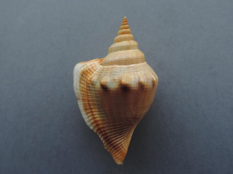 Dolomena labiosa - (Wood, 1828) Dscn7546
