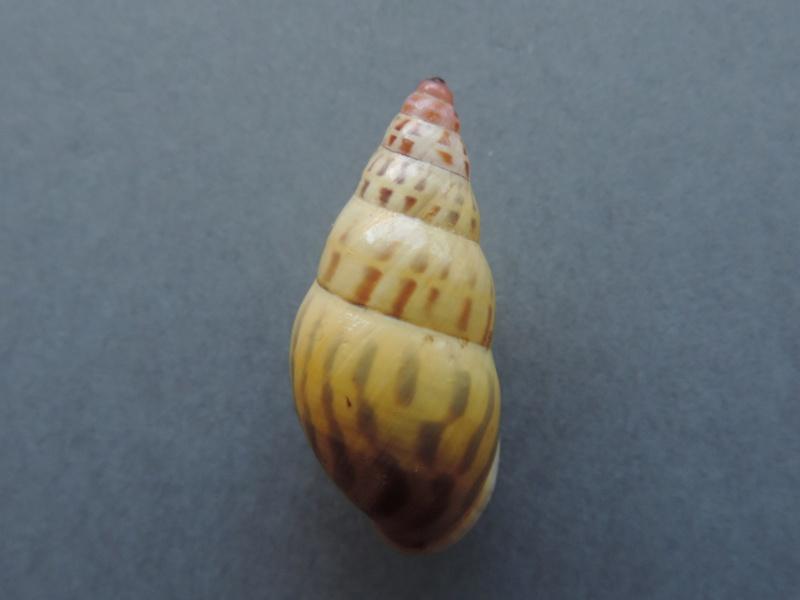 Amphidromus annae (Von Martens, 1891) Dscn7548