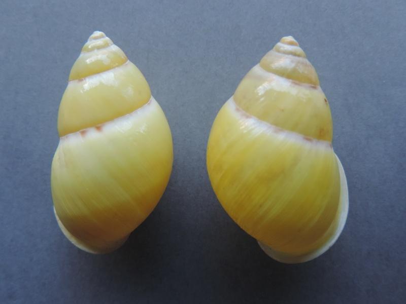 Amphidromus palaceus tanggamusensis (Dharma, 2007) Dscn7552