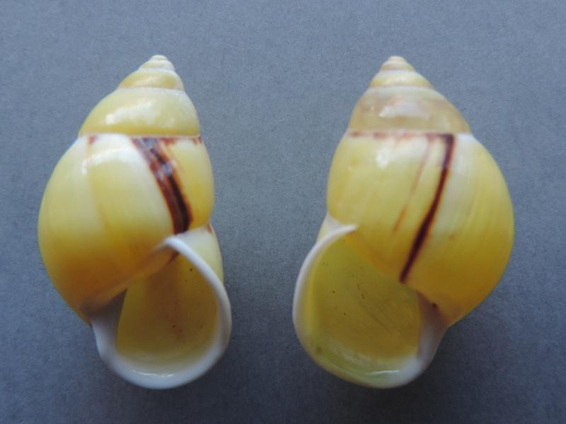 Amphidromus palaceus tanggamusensis (Dharma, 2007) Dscn7553