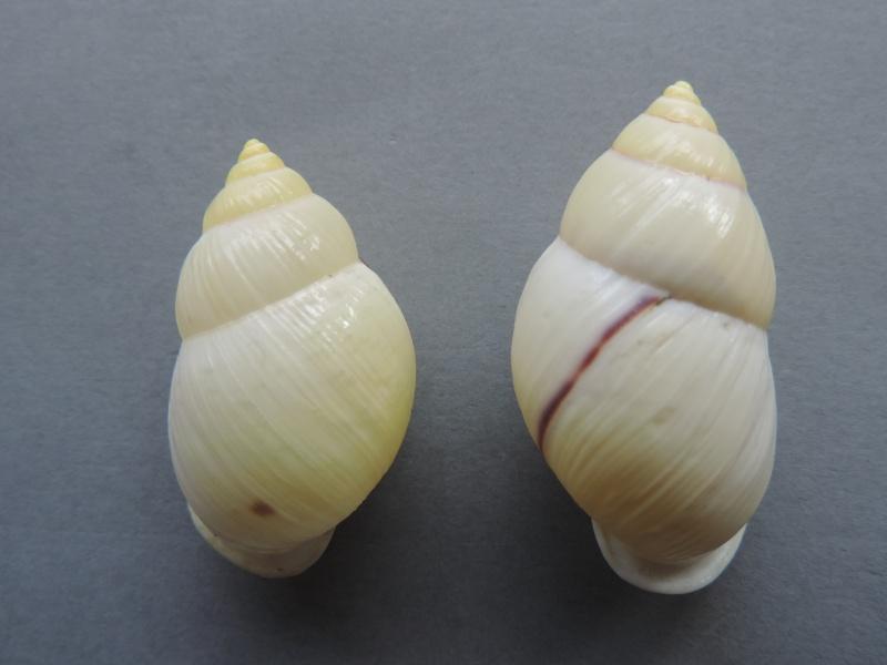 Amphidromus palaceus palaceus (Mousson, 1849) Dscn7556