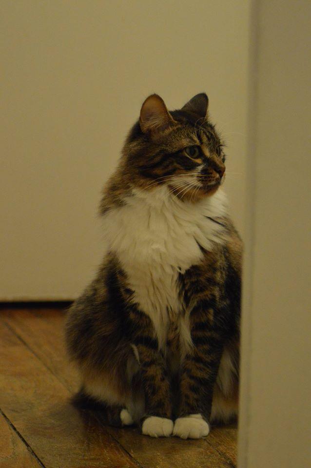 Oliver, mâle type européen tabby et blanc angora né en avril 2015 - Page 6 12672010