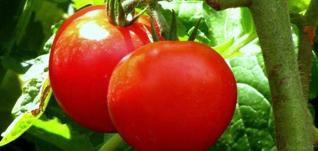 ما فائدة الطماطم 11892110