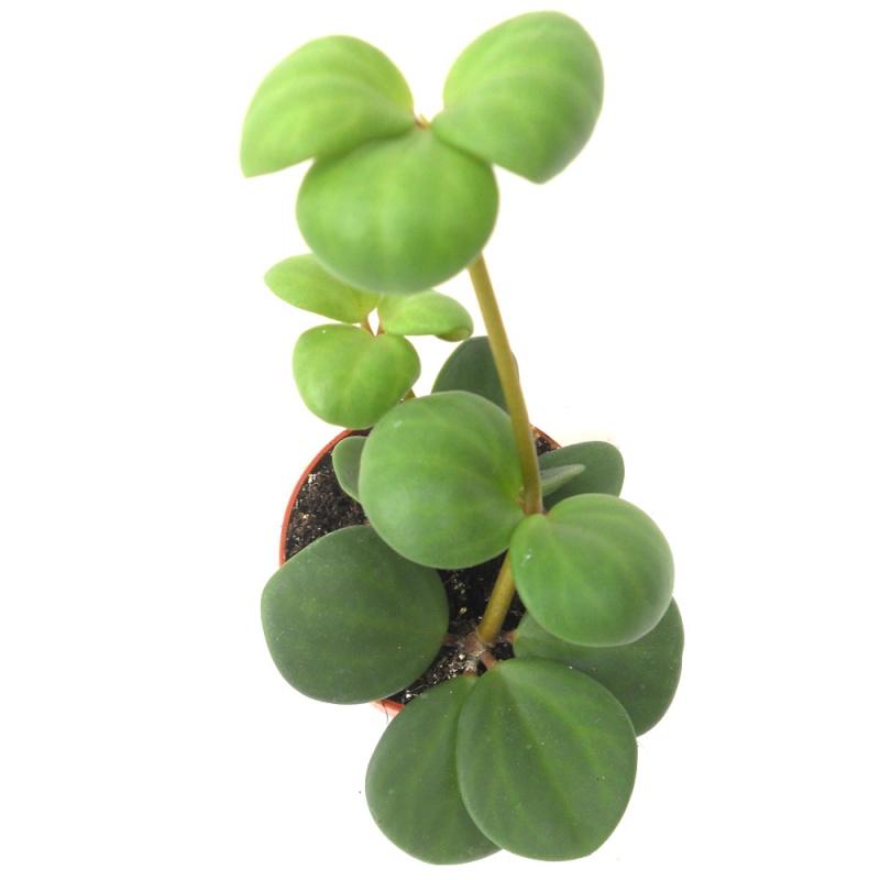 Peperomia 'Hope' (P. deppeana x P.quadrifolia) Pepero10