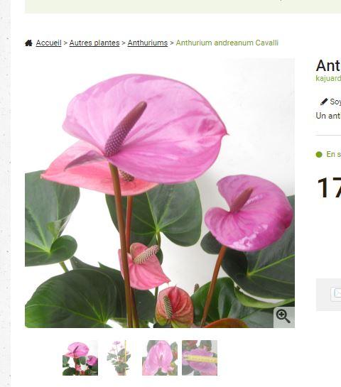 Anthurium - le genre - Page 2 Pourfj10