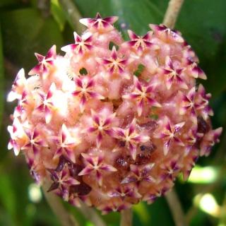 Hoya elmeri (= H. mindorensis ssp. superba) 510