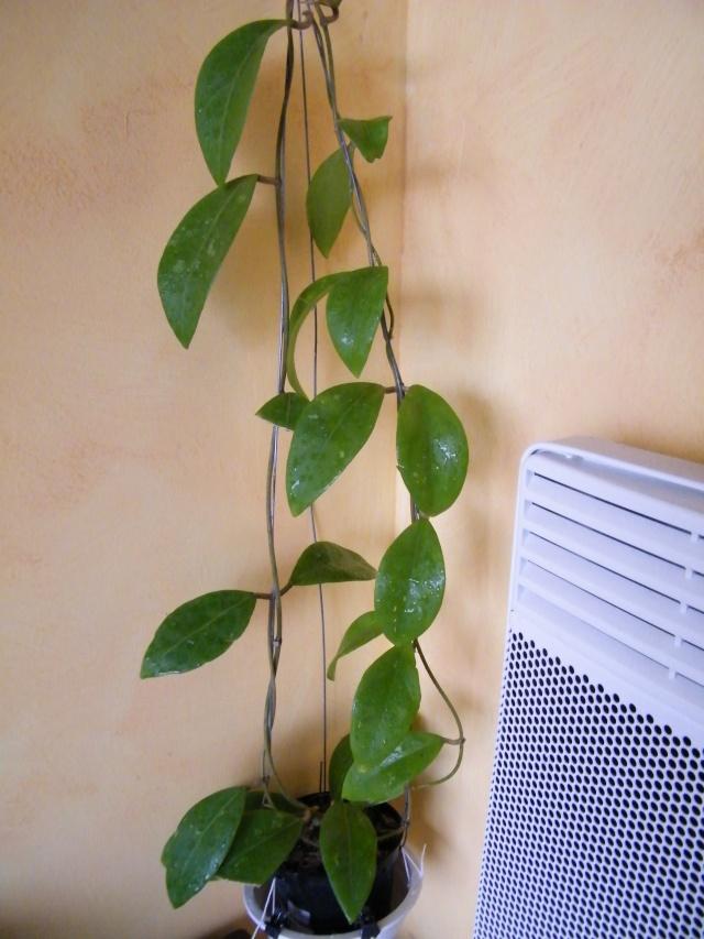 Hoya elmeri (= H. mindorensis ssp. superba) Dscf7013