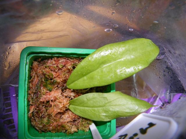 Hoya elmeri (= H. mindorensis ssp. superba) Dscf7142