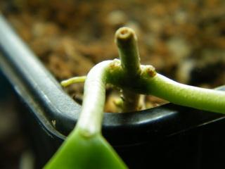 Hoya limoniaca Dscf7149