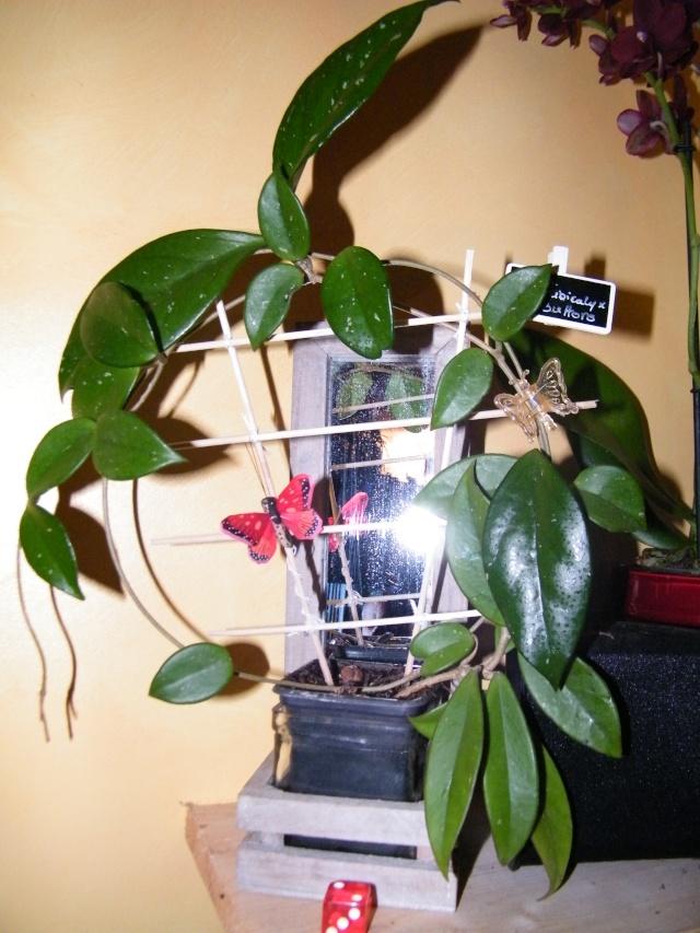 Hoya pubicalyx - Page 4 Dscf7150