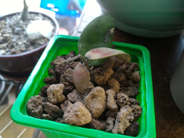 Hoya flagellata Flagel10