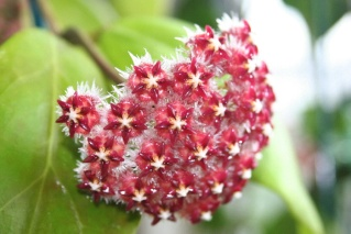 Hoya elmeri (= H. mindorensis ssp. superba) Hoya_m10