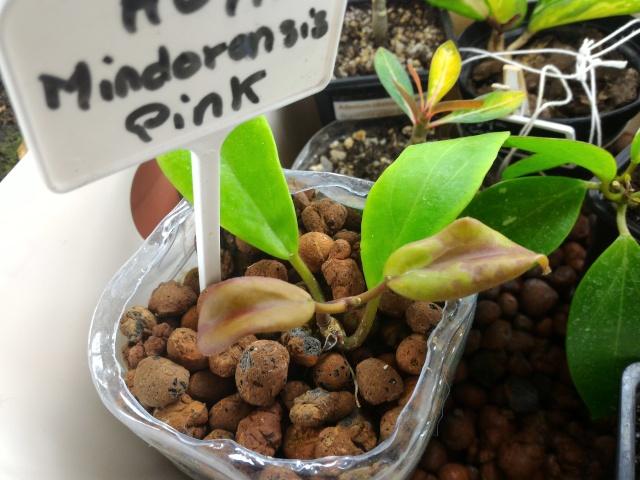 Hoya mindorensis Mindo10