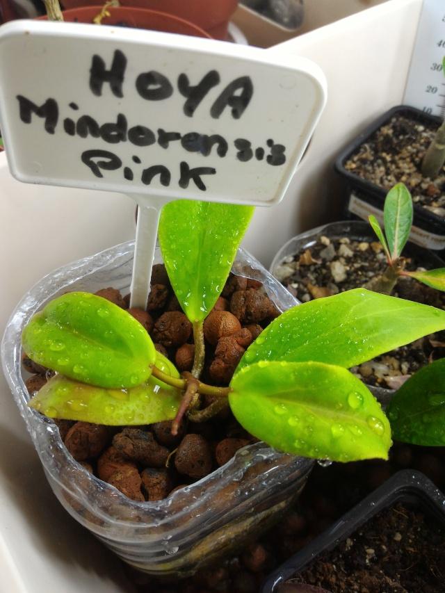 Hoya elmeri (= H. mindorensis ssp. superba) P_201610