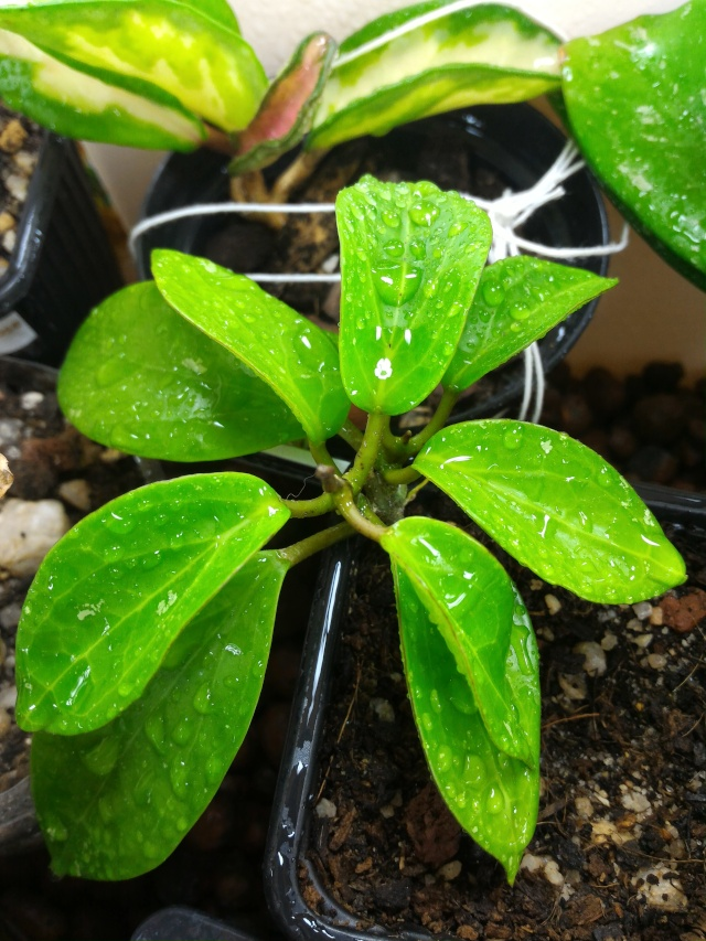 Hoya limoniaca P_201611