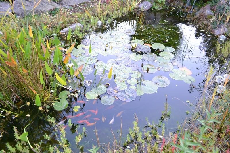 Un étang au jardin puis deux Dsc_0021