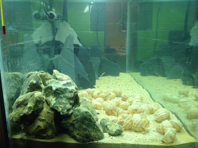 200L spé Néolamprologus similis Image13