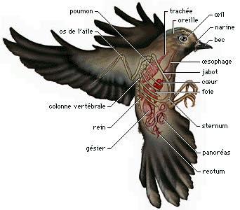 Fiches pratiques sur les oiseaux! 11202611