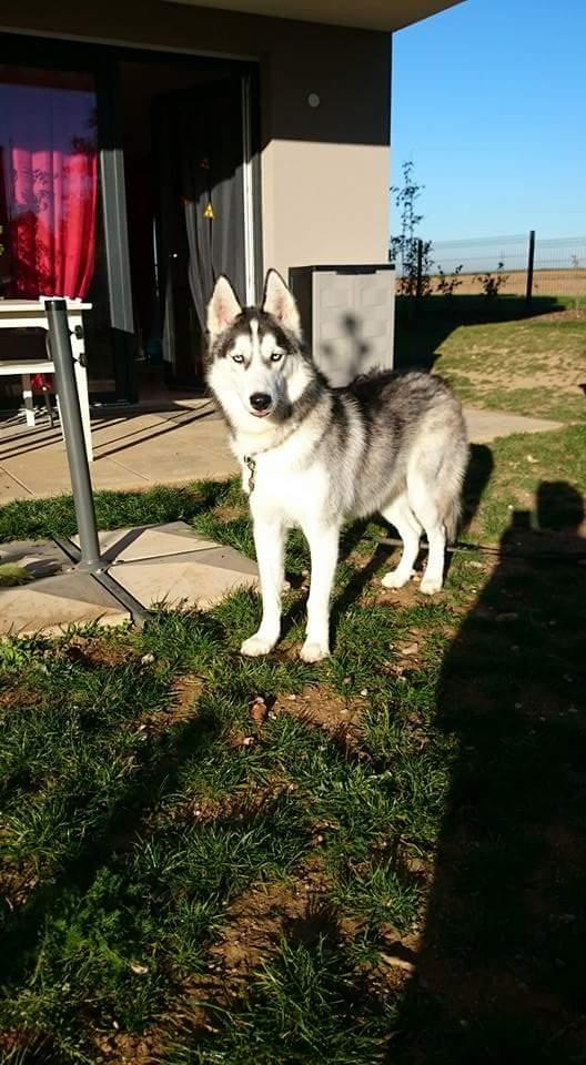 Ivan, mâle Husky 1 ans ASS039 12241510