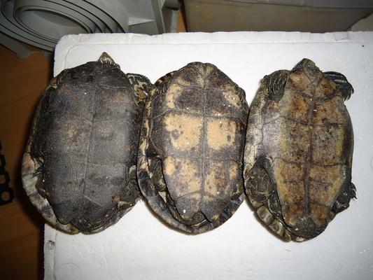 Mes tortues (CID) - Page 16 Bloggi25