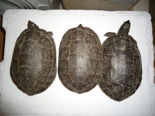 Mes tortues (CID) - Page 16 Bloggi26