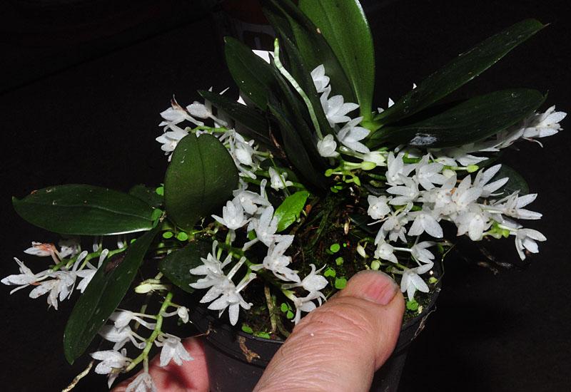 Miniatur-Orchideen Teil 3 Aerang10