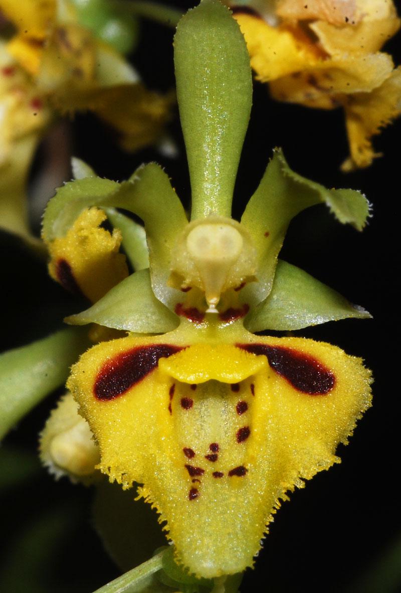 Miniatur-Orchideen Teil 3 - Seite 3 Aurata10