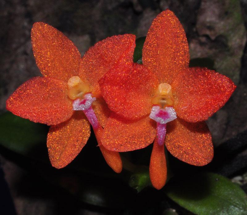Miniatur-Orchideen Teil 3 Cerato10