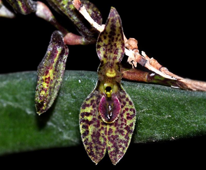 Miniatur-Orchideen 2. Teil - Seite 23 Pleuro10