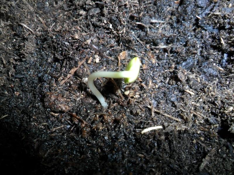 """""""Faire """"ses propres plantes a partir de pepin ou de noyau - Page 2 Sam_5219"""