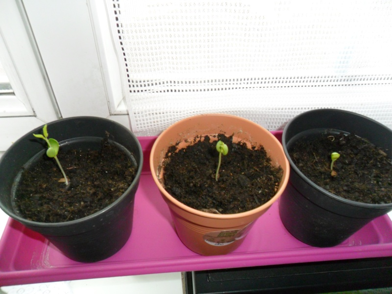"""""""Faire """"ses propres plantes a partir de pepin ou de noyau - Page 2 Sam_5225"""