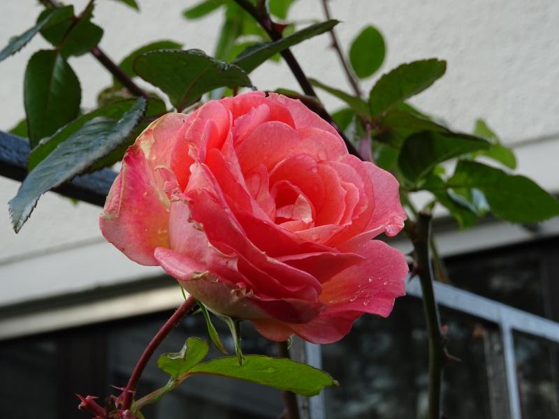 """Rosen - ein Thread für die """"Königin"""" - Seite 9 Dsc00119"""