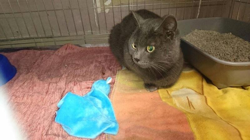 chat gris trouvé à Avesnes 12522910