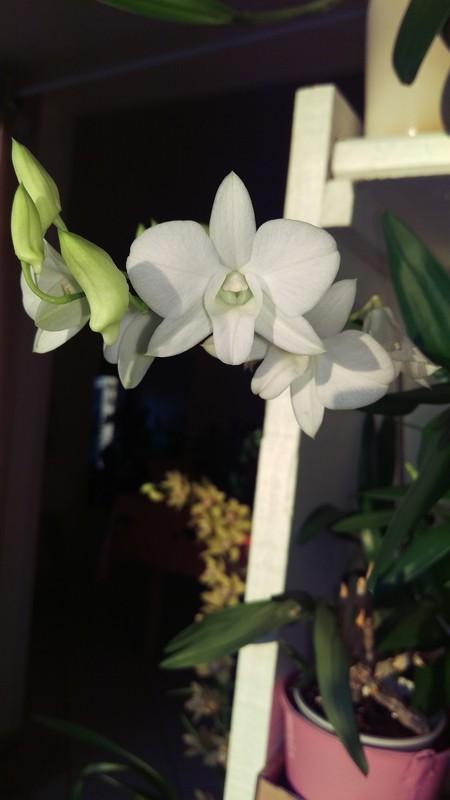 Dendrobium Phalaenopsis Emma White Dendro10