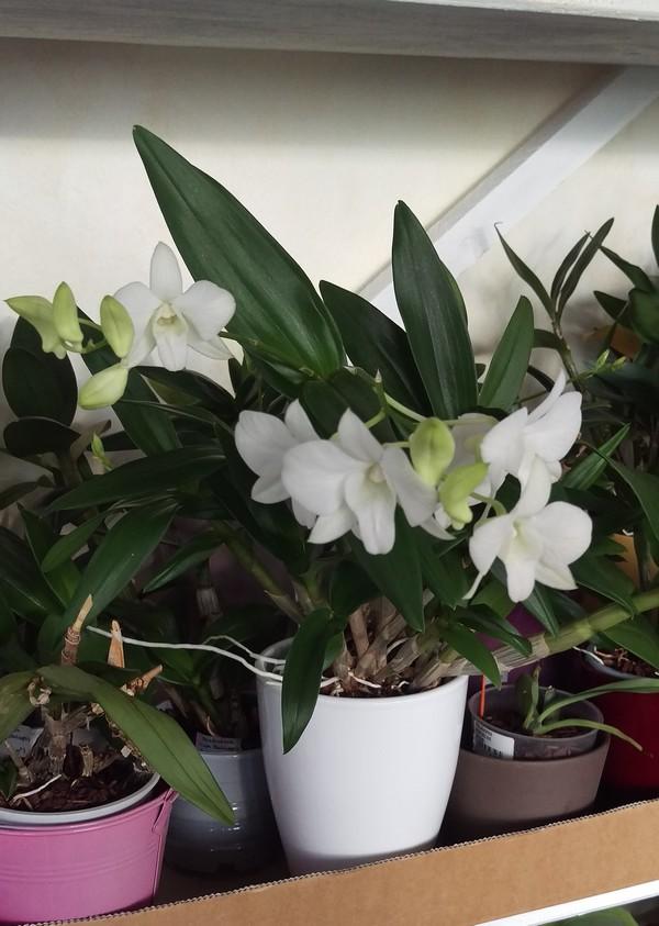 Dendrobium Phalaenopsis Emma White Dendro11