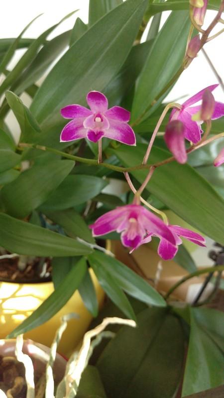 Dendrobium Purple winter beauty Dendro12