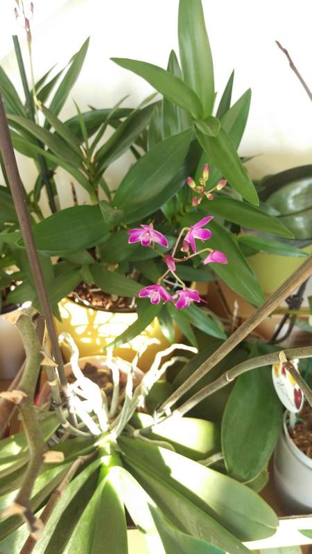 Dendrobium Purple winter beauty Dendro13