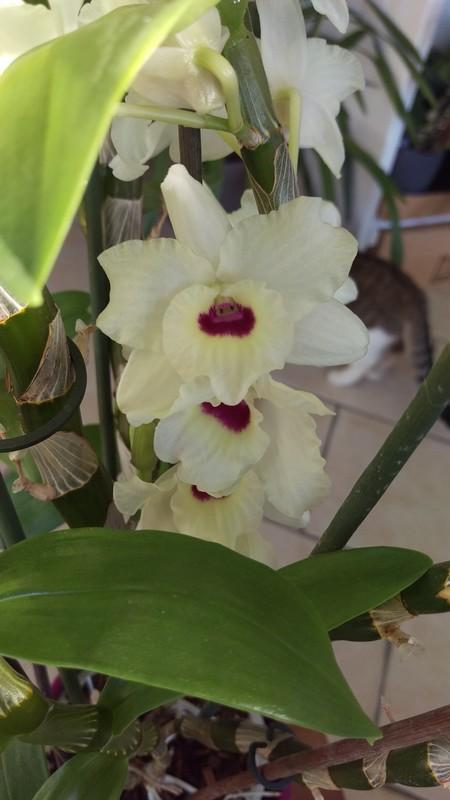Dendrobium Nobile Siegfried Lenz Kassia Dendro14