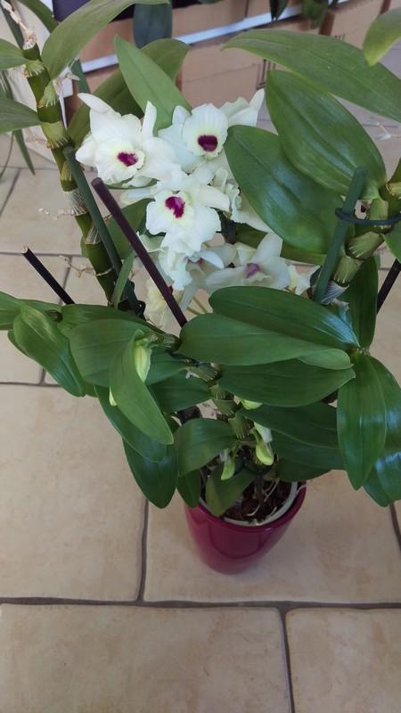 Dendrobium Nobile Siegfried Lenz Kassia Dendro16