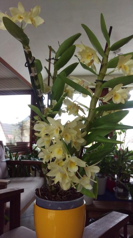 Dendrobium nobile Yellow Ribbon Delight Dendro19