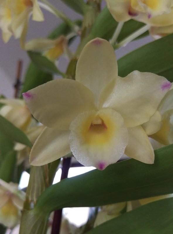 Dendrobium nobile Yellow Ribbon Delight Dendro20
