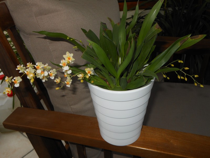 Oncidium Twinkle White - Page 2 Oncidi15