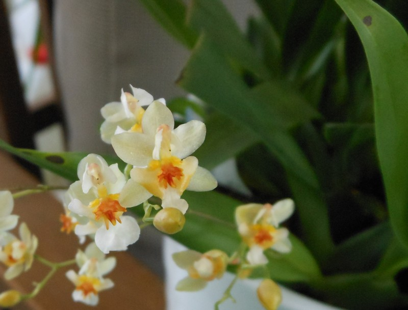 Oncidium Twinkle White - Page 2 Oncidi16